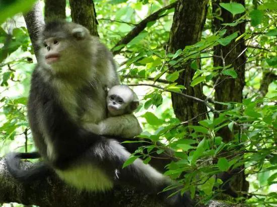 滇金丝猴母子(赵序茅 摄)