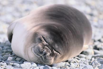 熟睡的海豹