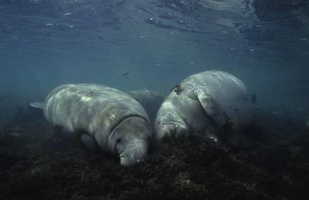 海牛喜欢在海底睡觉