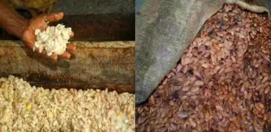 左侧为发酵前的可可豆,白色,没什么香味,外面还有白色的胶质。