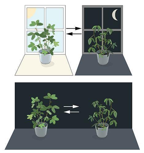 图1. 一个内源性生物钟。含羞草植物的叶片在白天朝向太阳展开,但在黄昏时合拢(图片上半部分)。让-雅克・道托思・麦兰将这些植物放置在持续黑暗的环境中(图片下半部分),发现叶片依然保持着它们平时的昼夜节律,即使没有光线变化也是如此。