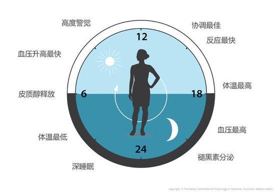 图3 生物钟让我们的生理能够预测并适应一天的不同阶段。我们的生物钟可以帮助调节睡眠、进食、激素释放、血压和体温。