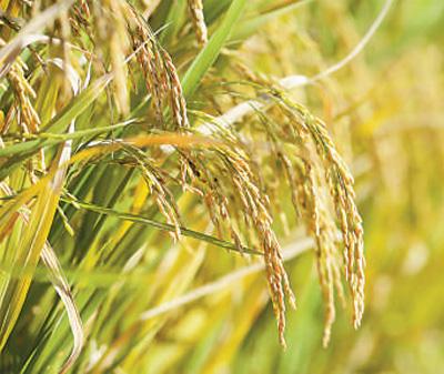 """""""海水稻""""籽粒饱满。本报记者 陈 斌摄"""