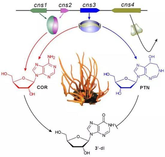 蛹虫草中的基因簇同时合成虫草素(Cordycepin, COR)和喷司他丁Pentostatin, PTN), 后者可以抑制虫草素降解为3'-脱氧肌苷 (3'-deoxyinosine,3'-dI )。
