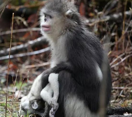 滇金丝猴携带死婴(李腾飞 摄)
