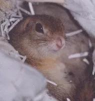 洞穴中的达乌尔黄鼠(图片来自www.interq.or.jp)