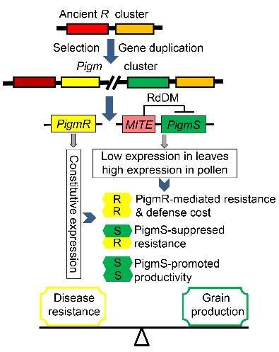 抗病新产品种(NIL-Pigm)与对照(NIPB)在自然病圃的发病比较和功能模型