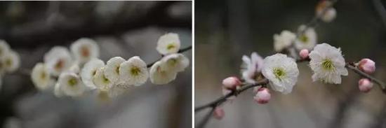 左:江梅型,右:绿萼型