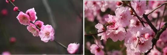 左:粉红朱砂,右:美人梅