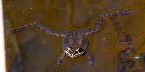 北美林蛙(图片来自维基百科)