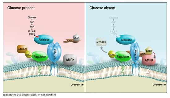 葡萄糖的水平决定细胞与代谢生长状态的机理