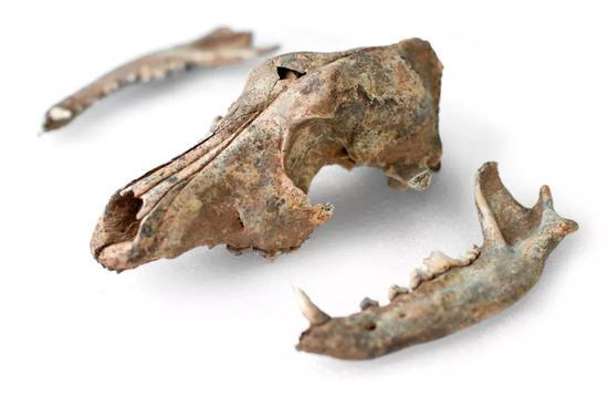 殷墟人类墓葬腰坑中出土的狗骨,距今3000余年。这只狗被商代人用于殉葬(黄宇 摄)