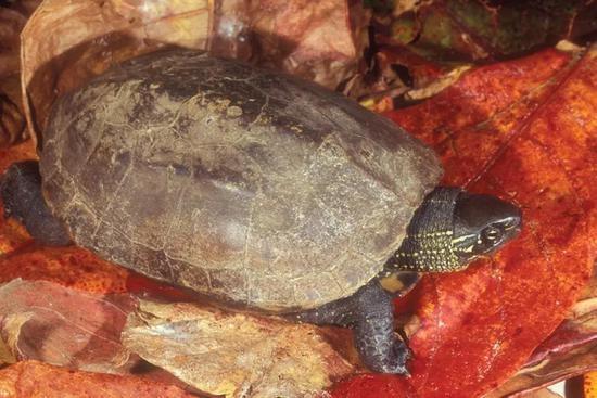 乌龟Mauremys reevesii(图片来自维基百科)