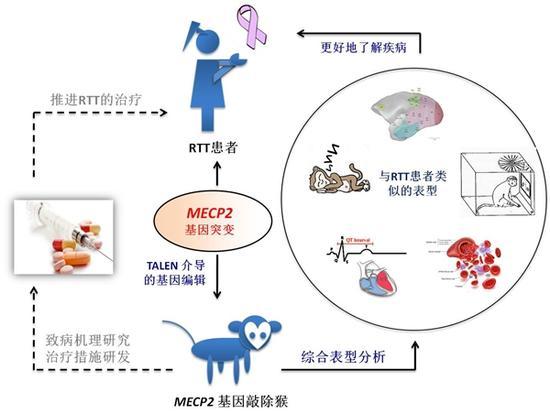 瑞特综合征猴模型构建、表型分析及意义示意图