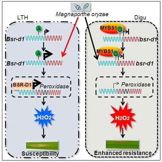 水稻Bsr-d1基因位点抗稻瘟病的分子机理