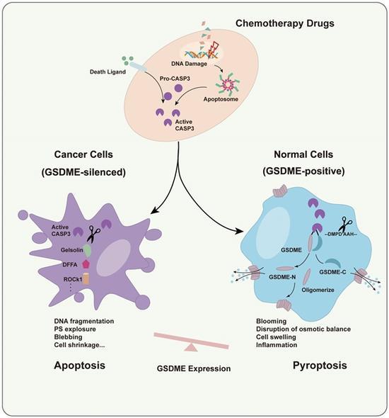 GSDME决定化疗药物诱导癌细胞和正常细胞分别发生凋亡和焦亡
