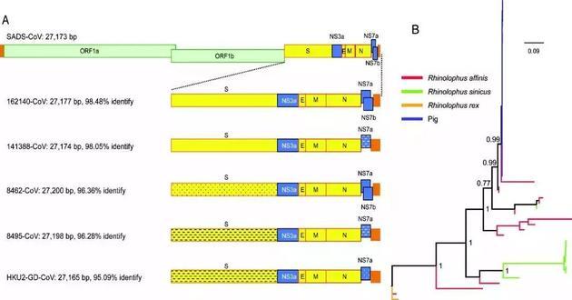 SADS 冠状病毒与蝙蝠 HKU2 相关冠状病毒的基因组比较(A)和囊膜蛋白 S1 基因进化分析(B)