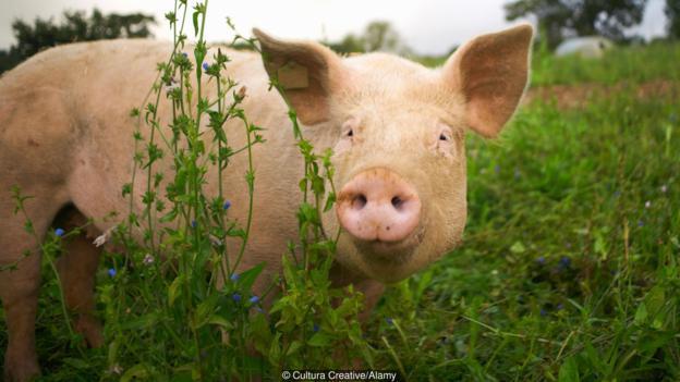 一些科学家正试图在猪体内培植人体器官。