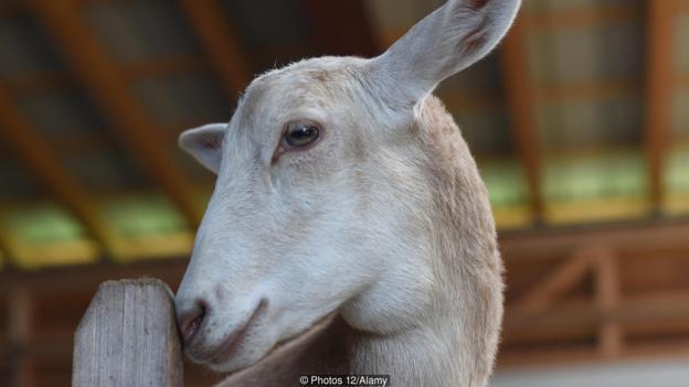 山羊与绵羊的杂交十分罕见。