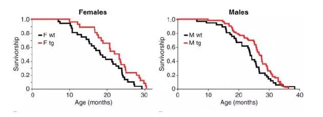 红线代表低体温小鼠,黑线代表正常小鼠,横轴表示年龄,纵轴表示存活率,左图为雌性小鼠,右图为雄性。向上偏移的红线意味着同年龄的低体温小鼠有较高的存活率。