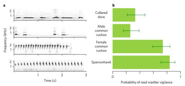"""芦苇莺听到雌性杜鹃和食雀鹰的叫声时,都会进入""""警觉""""模式。"""