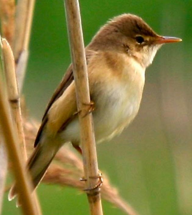 杜鹃喜欢将卵产在芦苇莺的巢中。