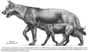 已经灭绝的上犬属动物是北美洲特有的,有些种类像今日的狮子一样大,有些则与浣熊或郊狼差不多。