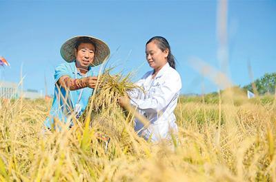 """海水稻研发中心工作人员正在取样测算""""海水稻""""亩产。"""