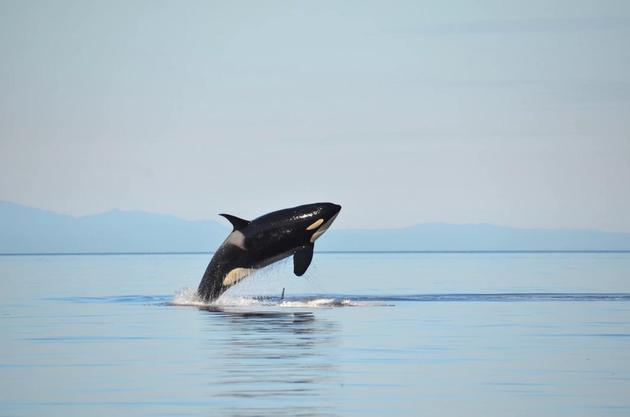 人类并非唯一具有更年期的生物,雌性逆戟鲸在12-40岁之间繁殖,但是它们的寿命可以延长到90多岁。