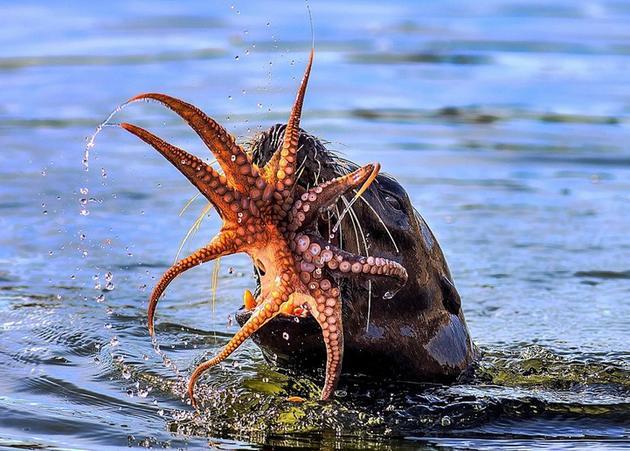 章鱼的大脑在许多方面与我们人类的大脑很类似。