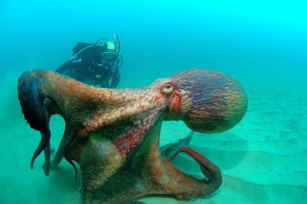 """在所有伪装者中,拟态章鱼毫无疑问是""""伪装大师""""头衔的最有力竞争者。"""