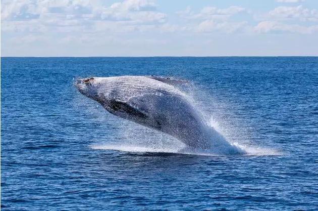 以磷虾为主食使须鲸成为了海洋中体型最大的一类动物。