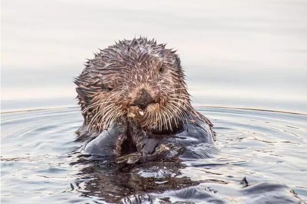在水陆环境中都很活跃的生活方式或许也造就水獭适中的体型。