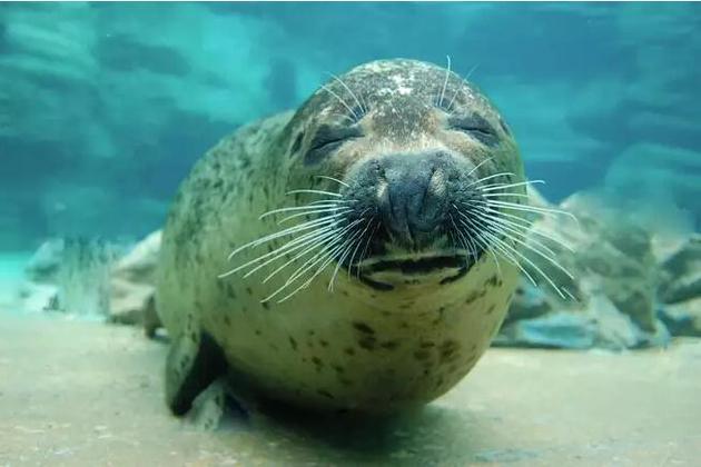 绝大多数海洋哺乳动物的重量都处于略高于500千克的水平――与海豹差不多。
