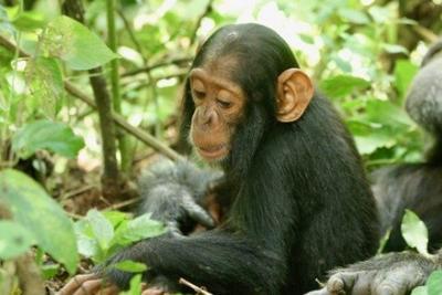 一只名为贝蒂的两岁黑猩猩因感染人类鼻病毒C型而死亡