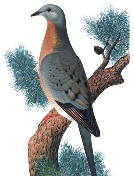 旅鸽曾经是北美大陆数量最多的鸟类。插画作者K。 Hayashi