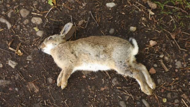 新西兰政府计划在全国范围内施放一种兔病毒,在奥塔哥大区就有100处施放点,希望能消灭40%以上的野兔。