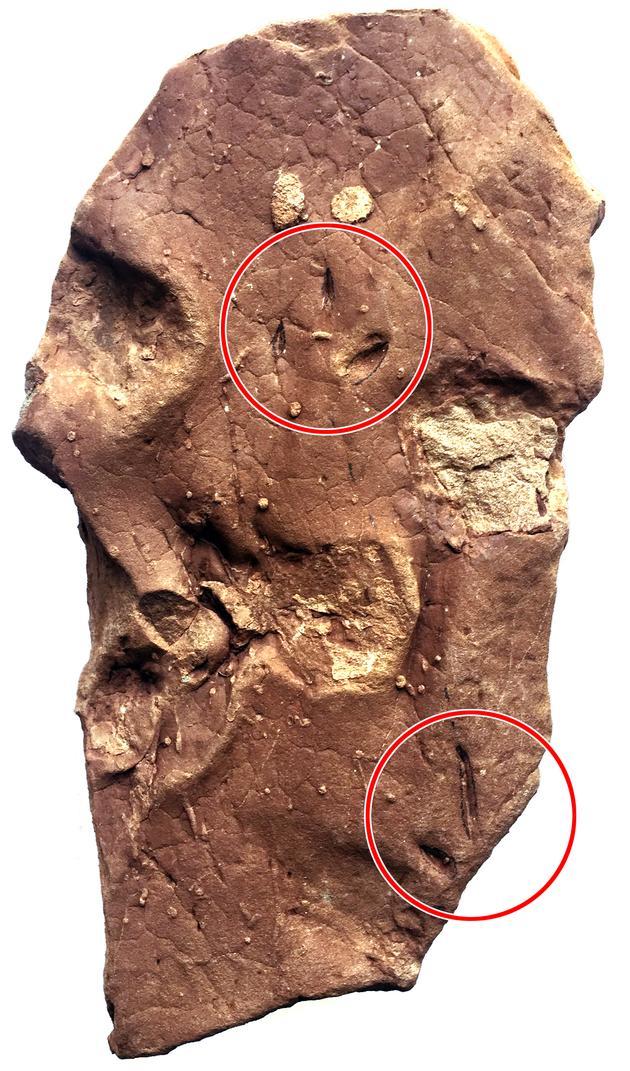 西藏鸟足迹化石