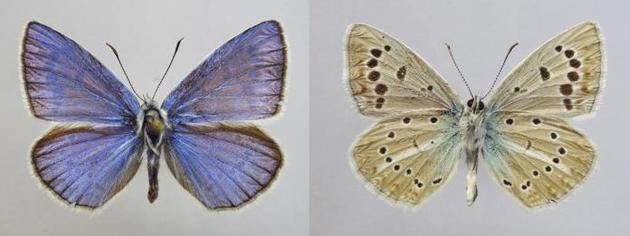 俄罗斯科学家对一种常见蝴蝶的种群进行分析之后发现,它们原来属于一个全新的物种,而且拥有非常特别的基因组构成。