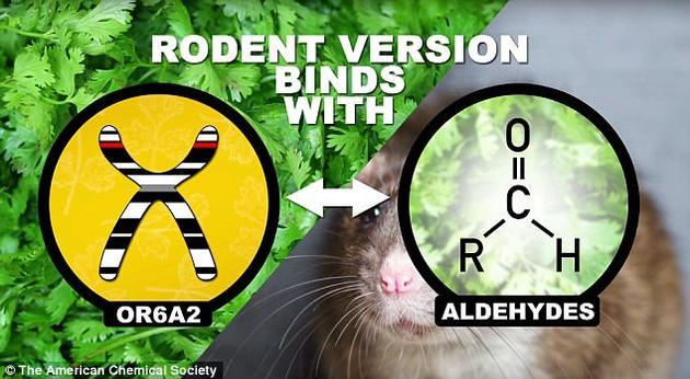 研究人员在啮齿动物体内发现了一种与嗅觉相关的基因,名叫OR682。它可以检测到醛类物质的气味,而香菜中恰好富含这类物质。