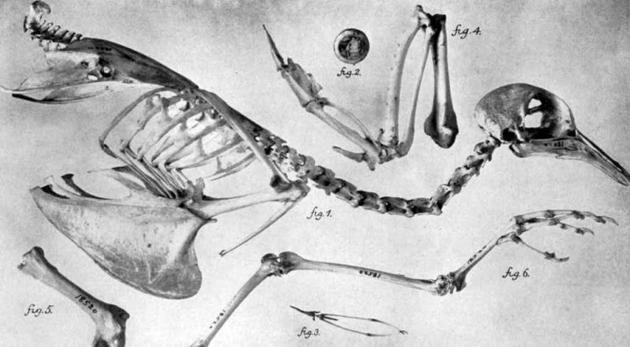 一只旅鸽的骨架