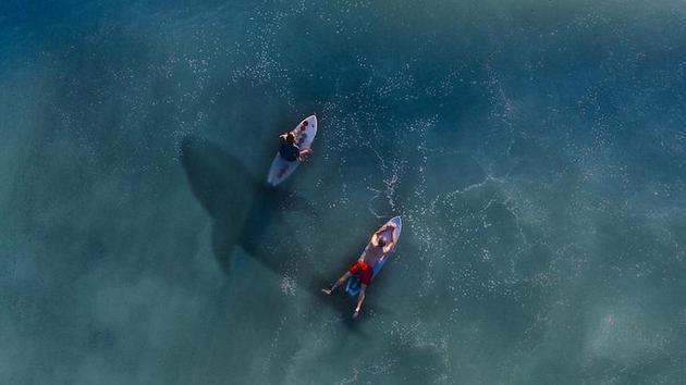 科学家指出这几年来我们看到越来越多鲨鱼的两个主要原因:海水升温促进鲨鱼向北迁移;夏季较长,使人们更喜欢在海滩嬉水消夏。