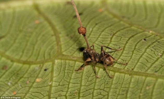 """苍蝇在虫草菌的控制下,将身体固定不动、静静等死,随后真菌逐渐生长,最终穿过苍蝇体表,破""""土""""而出。菌柄充分利用高处的位置,将孢子发射到地面上,然后感染更多昆虫。"""