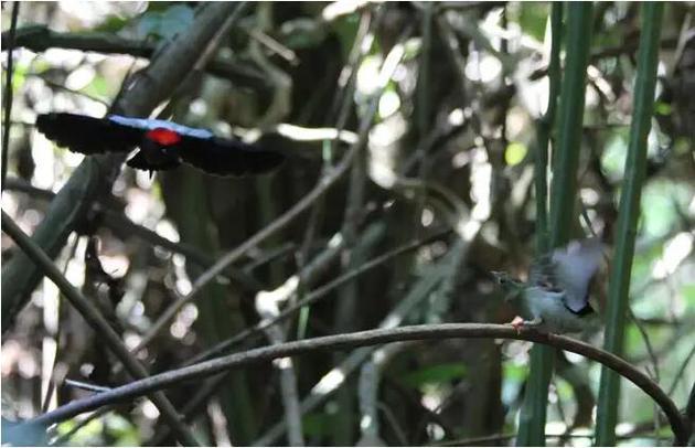一只雄性尖尾娇�l正在为雌鸟表演舞蹈