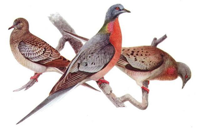 路易斯・阿加西斯・富尔特斯(Louis Agassiz Fuertes)描绘的旅鸽