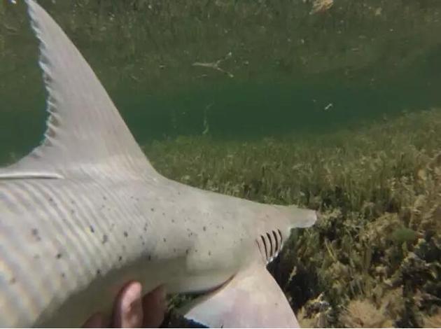 窄头双髻鲨分布于北美洲和南美洲的近海浅水区域。