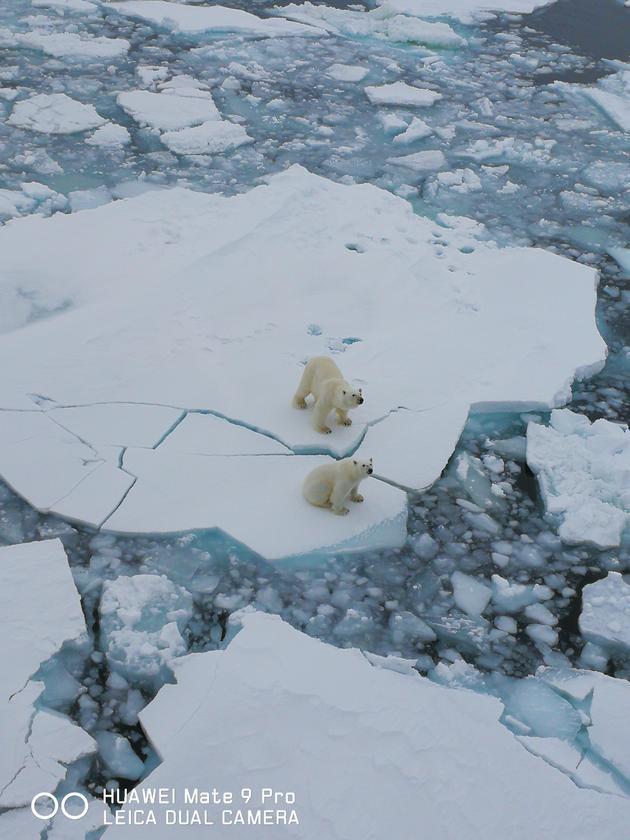 Mate 9 Pro拍摄的北极熊