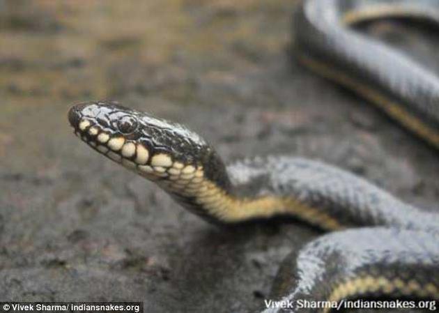 许多蛇类在捕猎时都是几乎将猎物整个吞下,因此猎物的大小通常都会受到它们下颌伸展能力的限制。