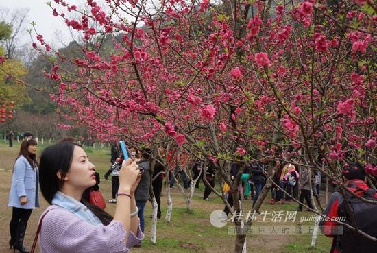 2月22日,记者在虞山公园看到,公园里的贴梗海棠正争相绽放,花瓣玲珑剔透,点点如胭脂色,十分美丽。与其他植物开花时多有绿叶相伴不同,这些贴梗海棠满树繁花却无几片绿叶,花开得红艳艳的,更显得十分喜庆。 据了解,贴梗海棠花期较长,可达23个月。虞山公园于2009年引进贴梗海棠,近年来长势良好,一般在春节前后开花,由于其颜色鲜艳,现已成为桂林人春节的喜庆之花。由于贴梗海棠特别吸引鸟儿,如太阳鸟、绣眼等,因此,我市众多摄鸟爱好者以及广州、南宁、柳州、梧州等地的摄友们都来到该公园守花拍鸟。另外,西山公园、园林植物园