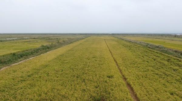 海水稻目前只是小面积试种。 澎湃新闻记者 郑朝渊 图